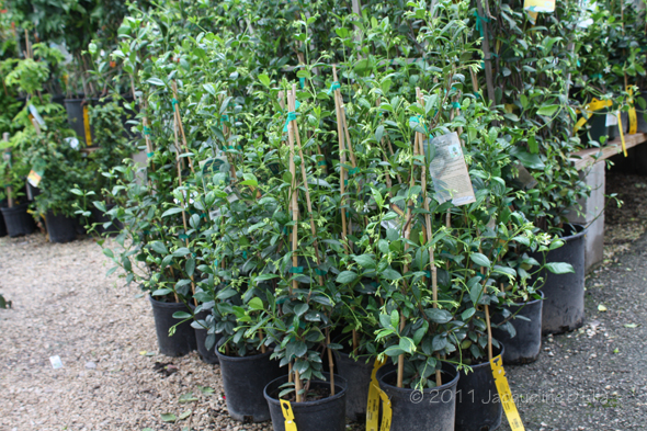 Vines for growing in houston choosing the right vine for for Evergreen climbing plants for privacy