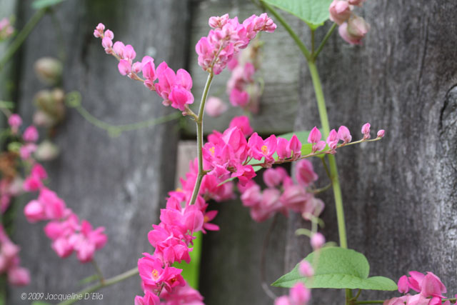 Vines for growing in houston choosing the right vine for your garden pink coral vine mightylinksfo