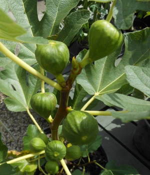 Growing Figs In Houston