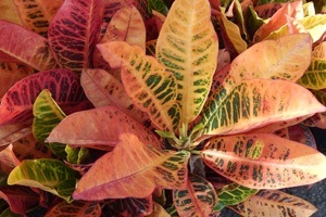 Crotons at Buchanan's